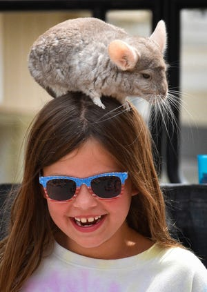 Although all of the children had the opportunity to touch Bindi the chinchilla, one lucky girl got to wear her on her head.