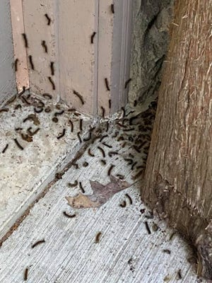 A recent cluster of gypsy moth caterpillars is shown at a home in Ruby.