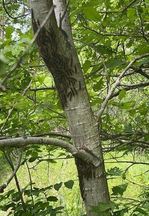 Groups of gypsy moth caterpillars crawl around a tree near Kenockee Township resident Laura Hahn's home.