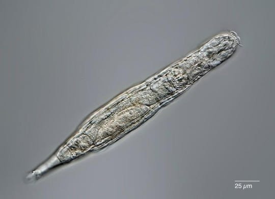 Once thawed, bdelloid rotifers are able to reproduce asexually using a process known as phagocytosis.  parthenogenesis