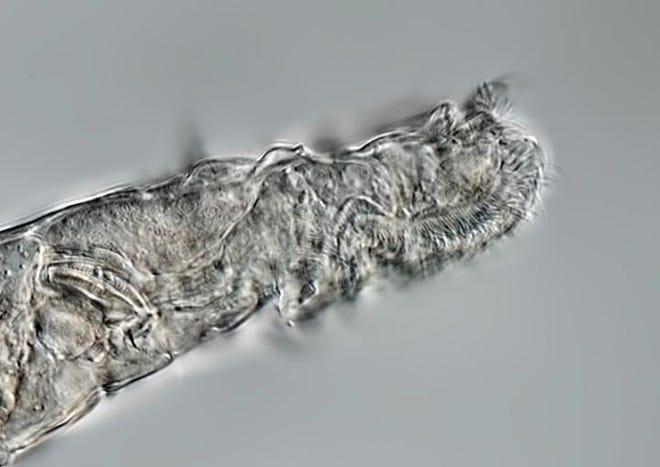The bdelloid rotifers, a microscopic animal found in northeastern Siberia.