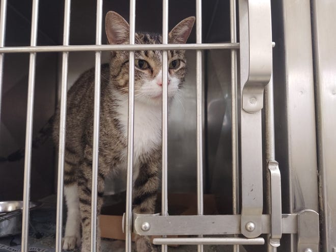 A cat sits in the Sherman Animal Shelter in 2019.