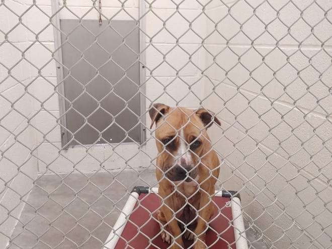 A dog awaits its forever home. The dog resided at the Sherman Animal Shelter in 2020.