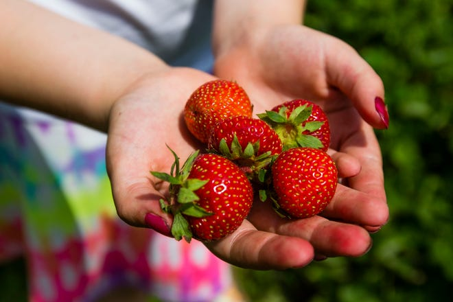 Lydia Johnson, 9, shows off some freshly picked berries Tuesday at Ziegler's U-Pick Strawberries in North Liberty.