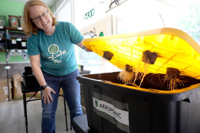Alex Graham, co-owner of Grow Thyme Hydroponics & Supply, shows the root system on a aeroponic system at the new DIY hydroponics store in the Millhopper Square plaza in Gainesville.
