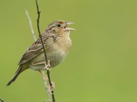 Grasshopper Sparrow Seen at Pease Airport.