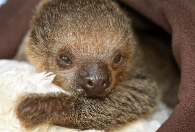 A baby Linnaeus's two-toed sloth born less than a month agois receiving specialized care at Brevard Zoo after it's mother, Tango, rejected it. The sloth, who has not yet had its sex determined, is being kept at the Africa barn, and is not currently viewable by the general public.