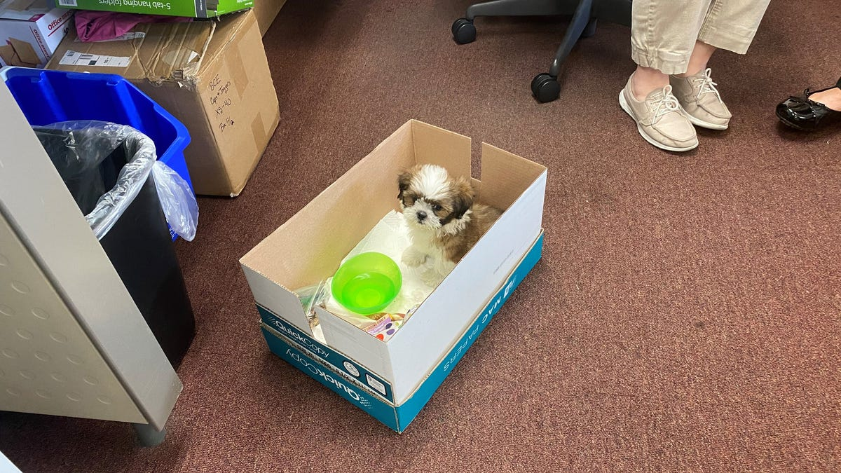 The pooch is back! $3,700 Shih Tzu puppy stolen from Fort Myers pet store recovered 2