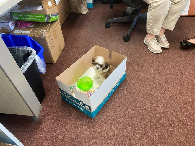 A $3,700 Shih Tzu puppy from a Fort Myers pet store that was stolen Saturday has been recovered and the alleged thief identified, Fort Myers police said Tuesday. The 9-week-old male pup taken from Pet Kingdom in the South Plaza on South Cleveland Avenue on Saturday was resting comfortably at the Fort Myers Police Department.