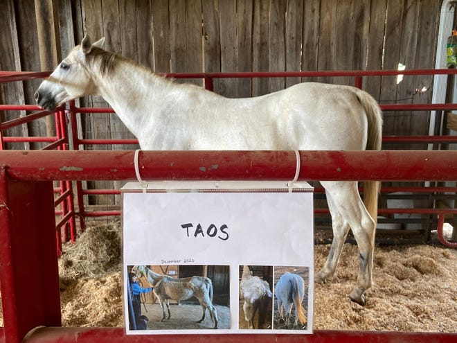 Tsao stands in his stall at Redemption Road Rescue with photos of himself from when he first arrived starving and with no meat on his bones.