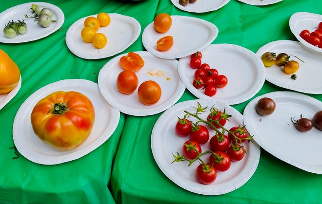A lineup of contestants in the Feastival tomato contest, held Sunday, June 6, 2021.