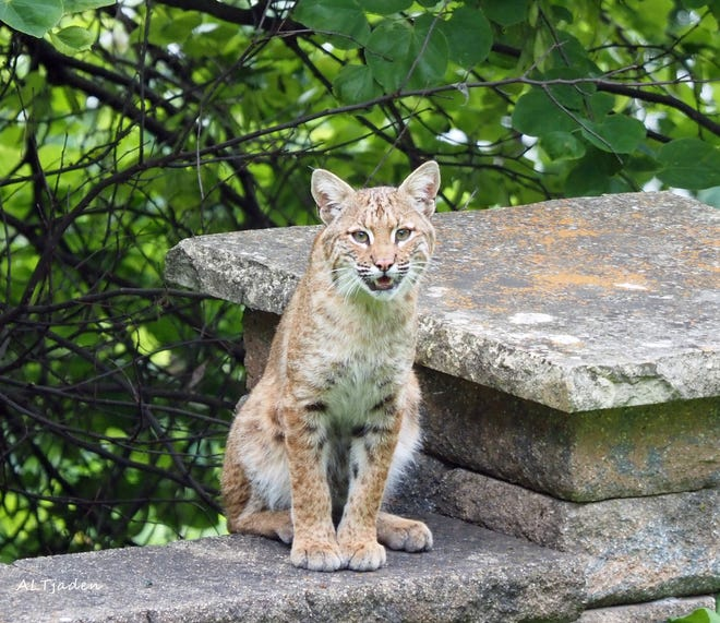 A bobcat sits Monday on a retaining wall lining the back yard of Alice Tjaden's Burlington home.