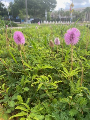 Sunshine mimosa, a native plant that is often seen along the roadside growing fine on its own, has been incorporated into the University of North Florida landscape as a groundcover.