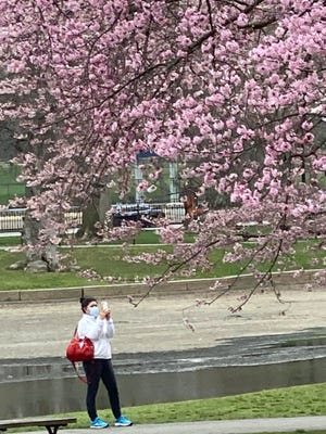 The magnolia trees are providing everyone with a spring treat of colorful blooms.