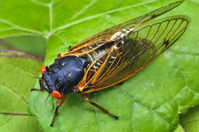 A 17-year cicada. Expect none in Oklahoma.