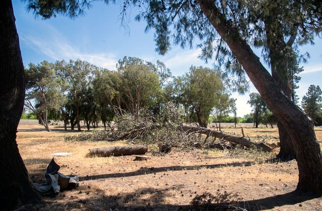There are many trees that have been cut down but not hauled away at the former Van Buskirk Golf Course in south Stockton. The city has plans to repurpose the land into an open-space park for the community.