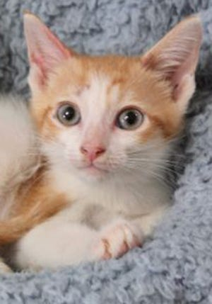 Spike, a baby male domestic short hair, is available for adoption from Wags & Whiskers Pet Rescue. Routine shots are up to date. Call 904-797-6039 or go to wwpetrescue.org.