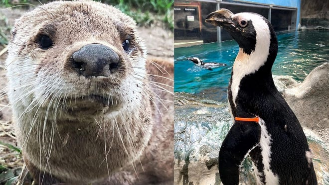 Thelma, left, was a North American river otter; Sallie, right, was an African penguin.