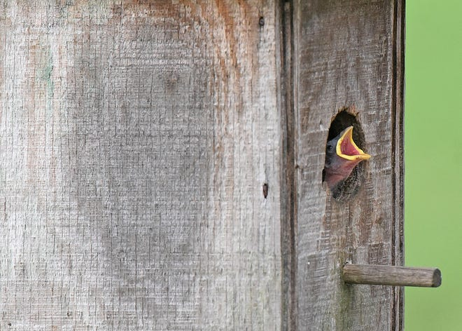 A newly hatched sparrow cries out for nourishment from a bird house at a Springfield Township residence. Sparrows usually lay four to five eggs and the babies will live in the nest for approximately two weeks.