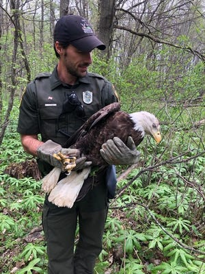 Ohio State Wildlife Officer Maurice Irish carefully holds the injured bald eagle before he and Wildlife Officer Chad Grote had it transported to Crows Hollow Wildlife Care in Richwood.