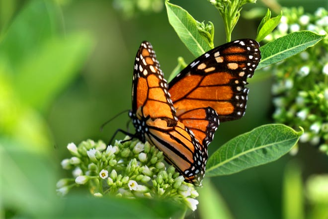 A monarch butterfly rests on milkweed at the County Grounds in Wauwatosa.