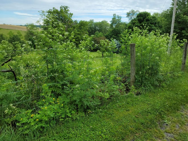 Poison hemlock, an Ohio noxious weed, typically grows in pastures, roadsides, ditches, waste areas, marshy areas, stream banks, and has begun to recently appear as a weed in no-tillage fields. The species prefers rich soils and frequently grows in low or poorly drained areas.