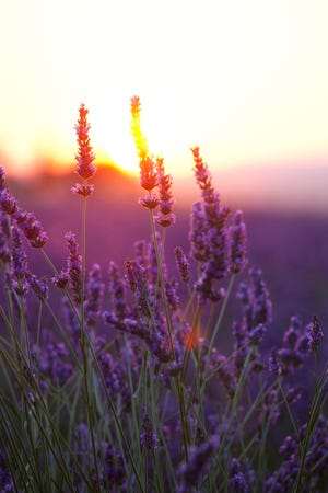 Lavender Flowers and Sunset