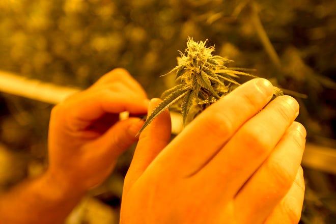 Le copropriétaire James Folan III manipule une plante de marijuana dans l'enceinte de culture de cannabis de la côte est à Eliot, dans le Maine, le jeudi 10 juin 2021.