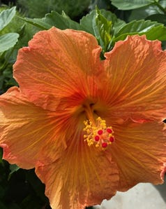 Jazzy Jewel Amber Hibiscus (Rose of China, Hibiscus rosa-sinensis) is a new tropical plant introduction that will do well in our warm climate. It is one of four new one offered by Monrovia.
