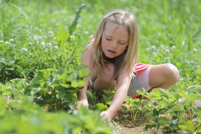 Avery Jakubowski, 7, of Hartville, picks strawberries at Sunny Slope Orchards in Tuscarawas Township along with her mother and sisters.