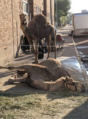 With the Shrine Circus in town, camels catch some rays on the sidewalk outside of the Aberdeen Civic Arena Wednesday evening. The circus continues today with shows at 4 and 8 p.m. and concludes Saturday with shows at 11 a.m. and 3 and 7 p.m.
