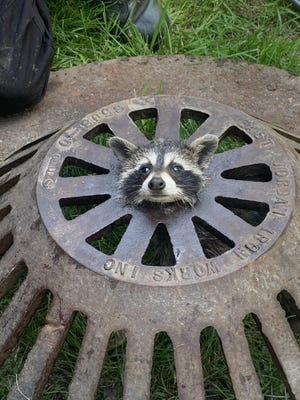 A raccoon stuck in a sewer cover in Harrison Township on June 8, 2021. The raccoon was rescued by the fire department.