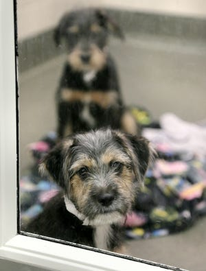 """Two terrier puppies wait to go to a foster home in June at the Franklin County Dog Shelter & Adoption Center. Beginning Sunday, the Columbus nonprofit will offer $18 adoptions as part of its """"Fall in Love"""" adoption event."""