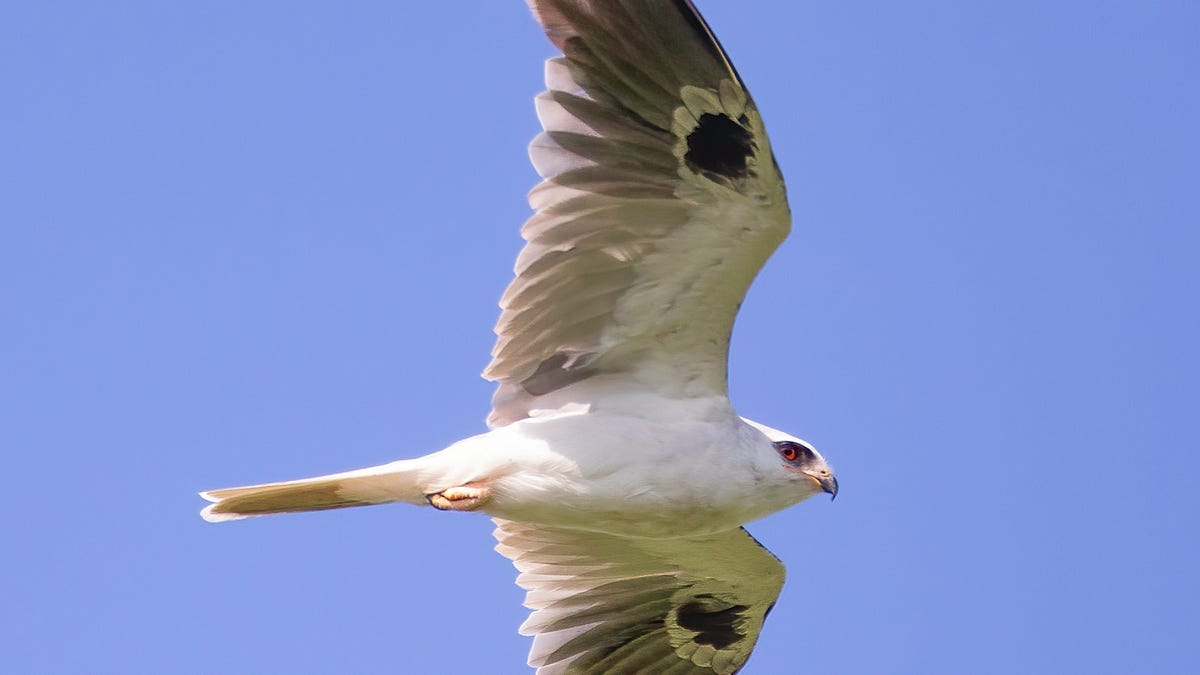 Nature: A white-tailed kite spotted in Harrison County is a true rarity