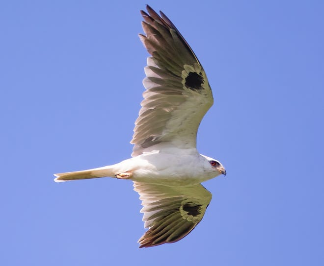 A white-tailed kite drifts by our nature writer in  Harrison County.