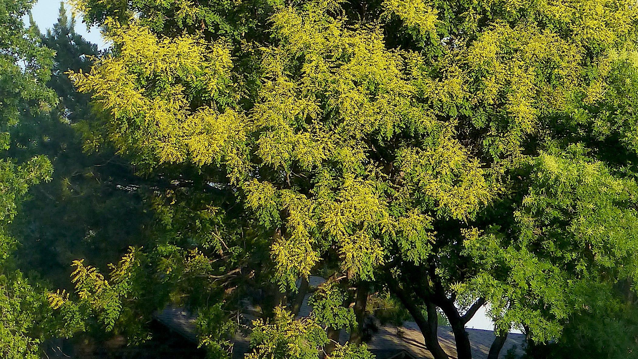 Peffley: Golden Raintree a striking choice for season-long color