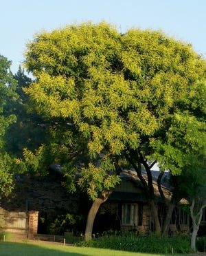 A golden raintree is wrapped in fragrant, showy bright yellow blossoms. As a small, summer-flowering ornamental deciduous tree it has a place in home landscapes, in parkways, patios, and garden beds.