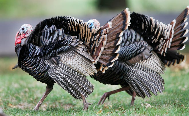 State wildlife commissioners have delayed a vote on Wildlife Department proposals for smaller bag limits and a later start to spring turkey hunting season due to plummeting populations.