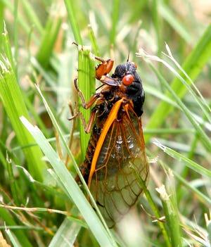 A cicada near Bedford, Indiana.