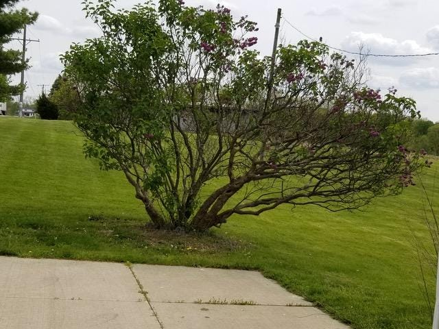 Lilac trees require regular pruning so blooms can be rejuvenated.