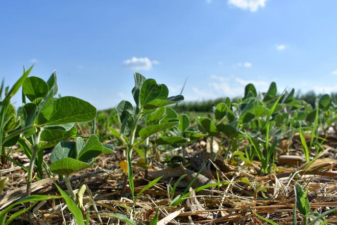 Soybeans and corn are at less risk from recent hot days than small grain crops, such as wheat and oats.