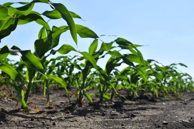 Gaylon Johnson's sweet corn blows in the hot, dry wind on June 10, 2021.