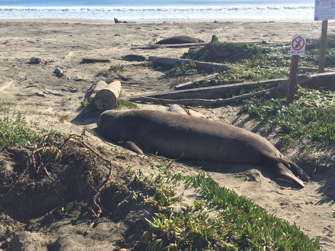 Northern elephant seal lounging on the Drake's Bay beach paid no attention to visitors.