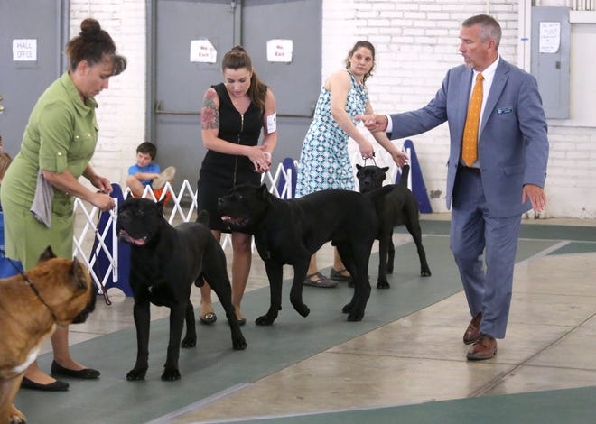 Dana P. Kine, right, judges the cane corso breed at the McKinley Kennel Club's annual dog show at the Stark County Fairgrounds in Canton on Saturday, June 12, 2021.