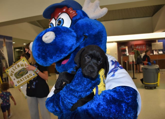 """Blue Wahoos mascot Kazoo cradles """"Watson"""" the team's service-puppy-in-training upon its arrival late Friday at Pensacola International Airport."""