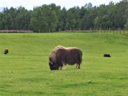 Qiviut products are made from the inner wool of muskox, which is roughly eight times warmer than wool.
