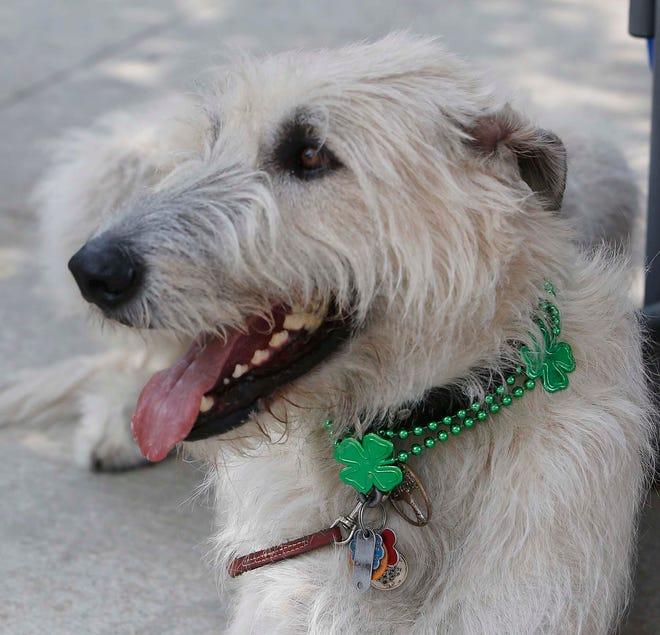 Sir Murphy, an Irish Wolfhound belonging to Sandy Williams of Louisville, listens to Irish music in the shade at the Riverfront Irish Festival Sunday, June 13, 2021 in Cuyahoga Falls, Ohio.