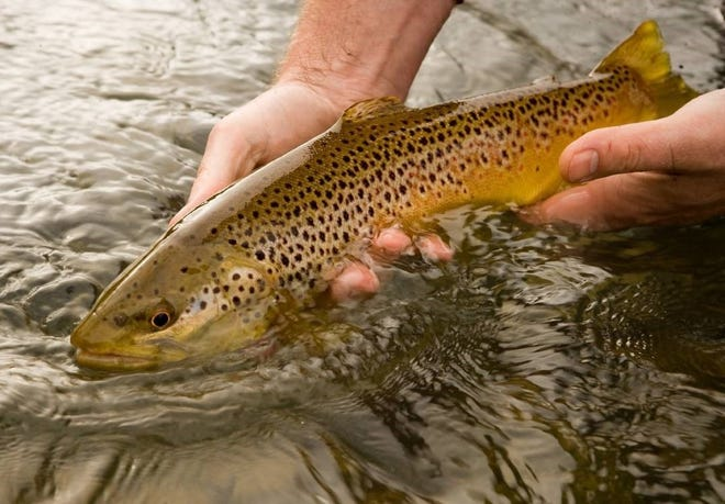 On June 19, people can use painting skills to tell the difference brown trout, pictured, and rainbow trout at a virtual Missouri Department of Conservation program.