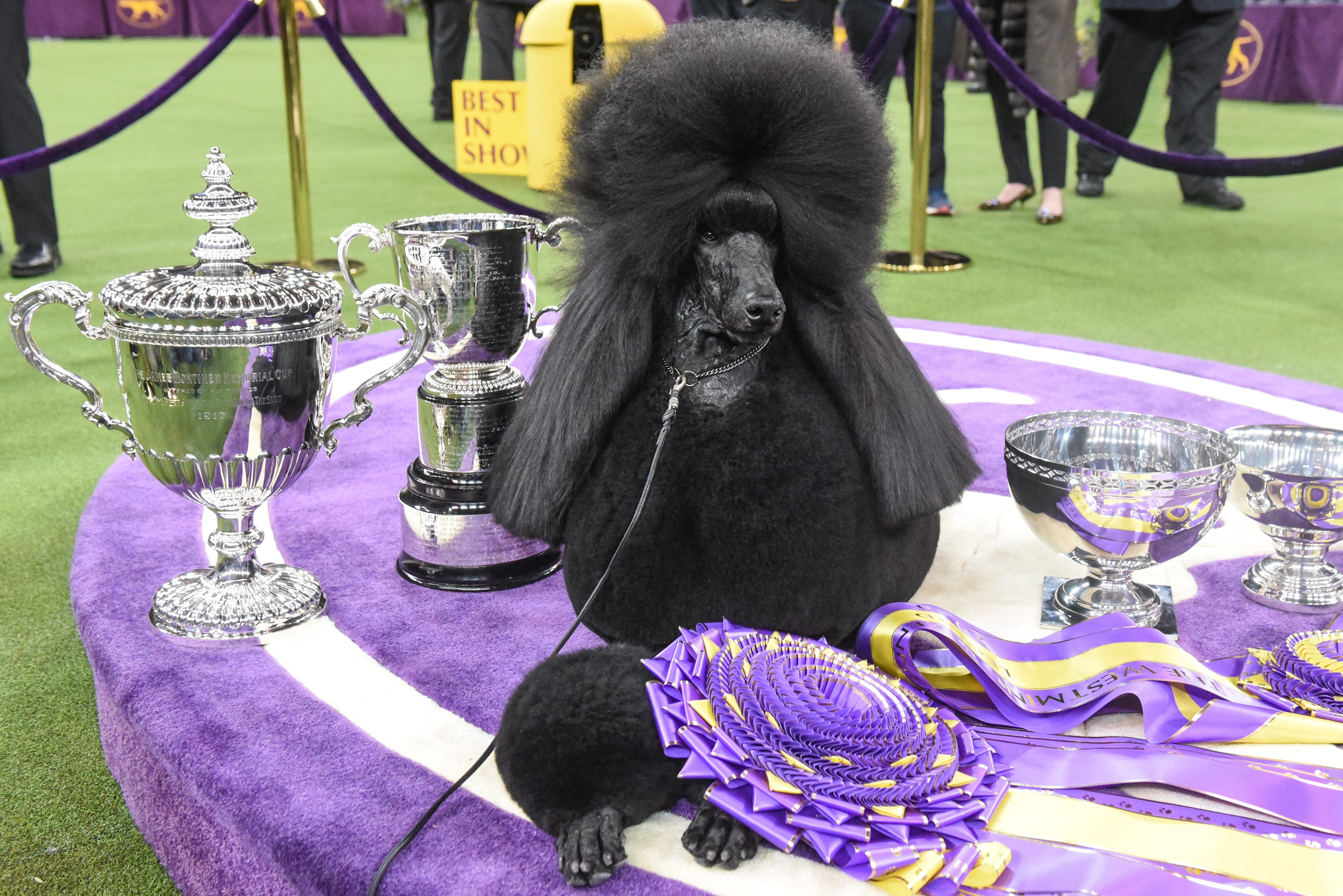 Who will win Best in Show at the Westminster Kennel Club Dog Show? TV channel, streaming info, new breeds