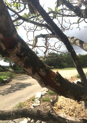 Loquat With Bark Splitting